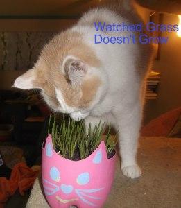 phoebe grass