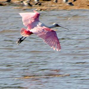 Photo of Roseate Spoonbill in flight