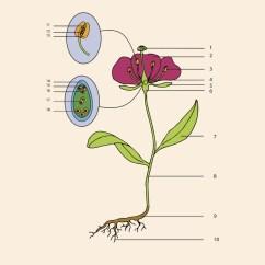 Parts Of A Flower Diagram Xlr To Trs Balanced Wiring Anatomy Petal Talk Blank