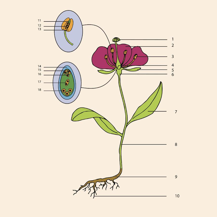 parts of a flower diagram 2000 chevy blazer stock radio wiring anatomy petal talk blank