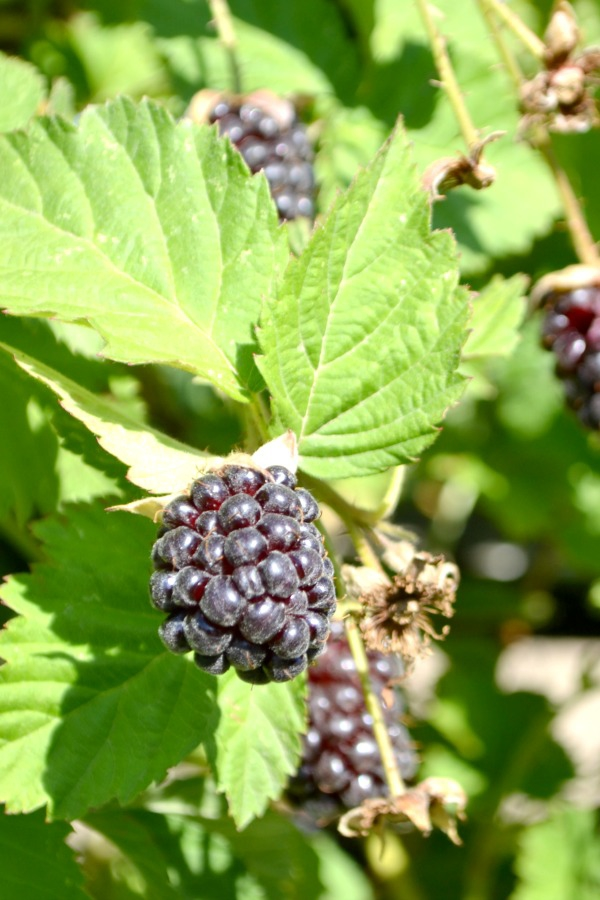 Our Boysenberry bush that came with our farmhouse