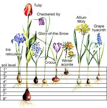 Bulb planting chart from Better Homes & Gardens