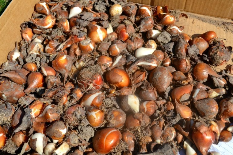 Divided tulip bulbs ready to be planted