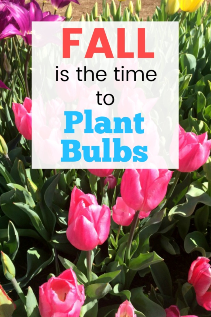 Fall is the perfect time to plant your Spring bulb such as daffodils, lilies and tulips
