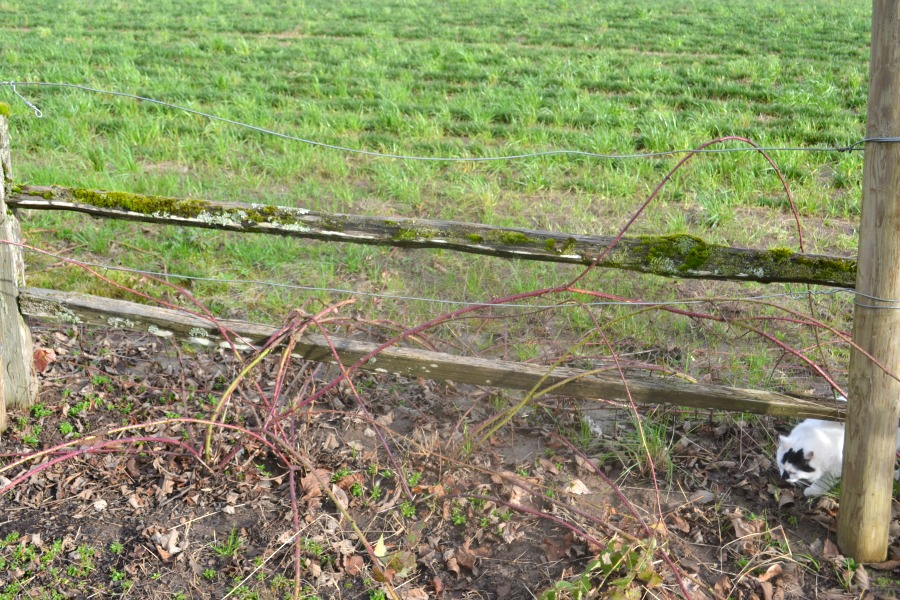 Berry vines that have not been trellised will be hard to pick come summer