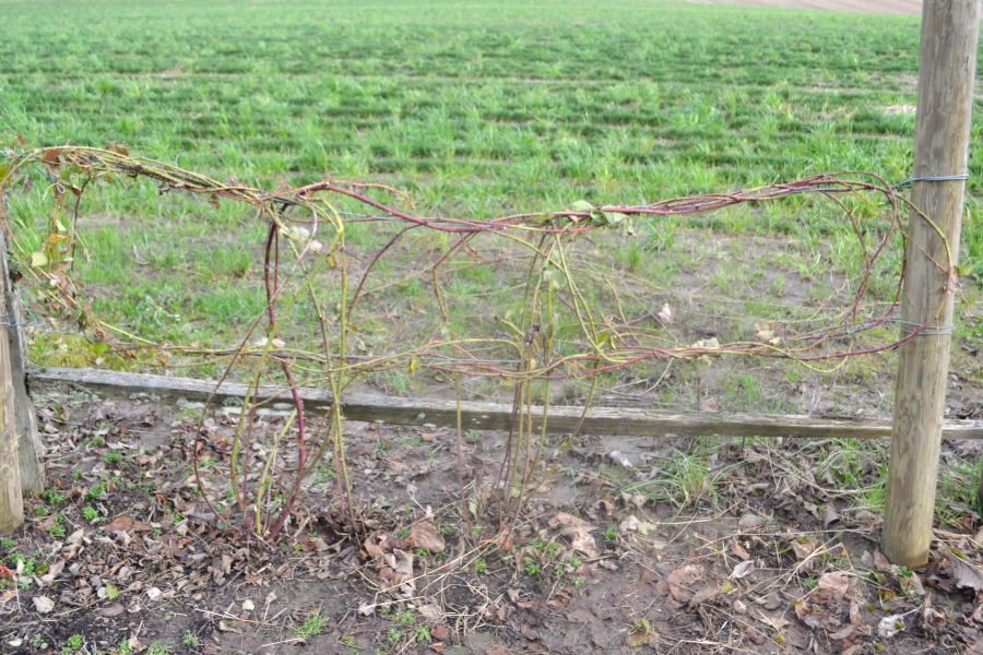 Trellised berry vines keep your berries neat and allow for easy picking