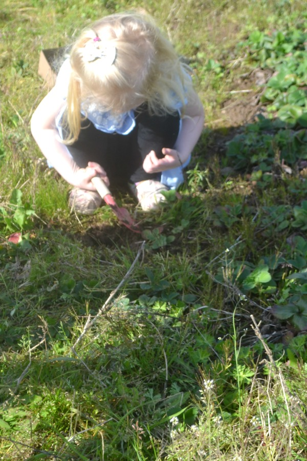 A young girl crouching down with a trowel in the middle of a strawberry row, digging a plant