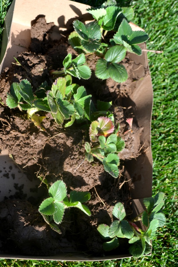 A cardboard box filled with dug up strawberry plants