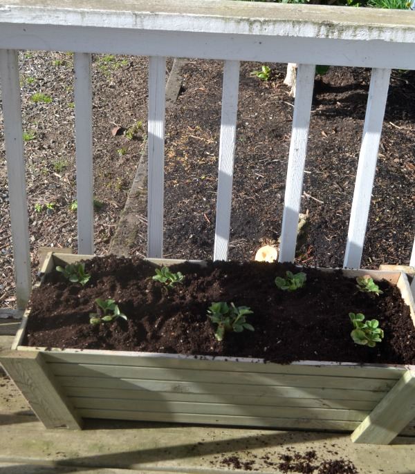 An overhead view of a planter box with equally spaced strawberry plants