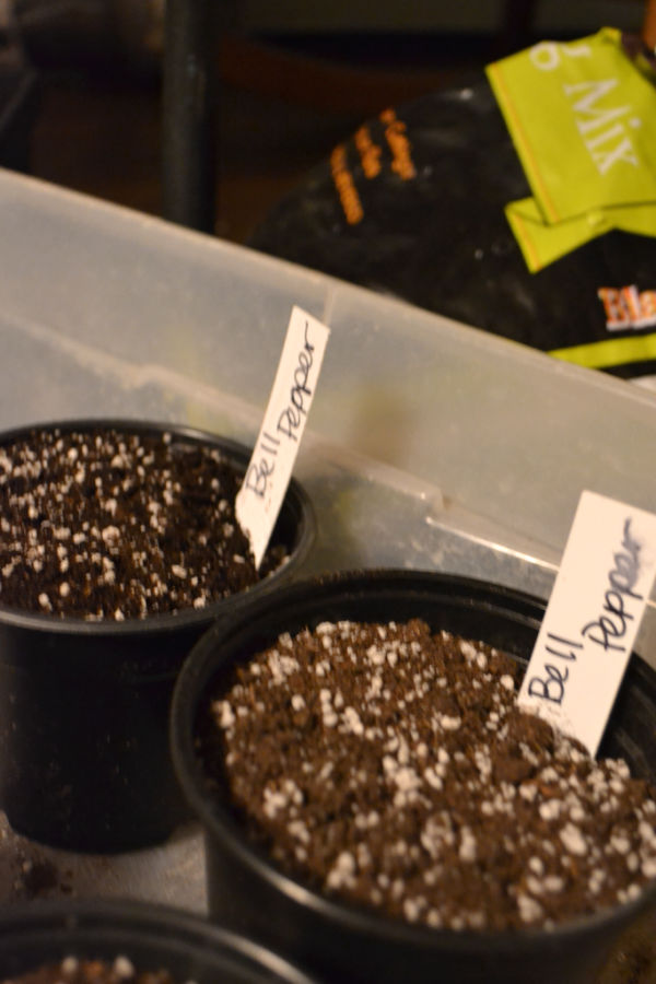 "A plastic container edge in the background and in the foreground 2 round seed pots weith soil and plastic labels with ""bell pepper"" written on them"