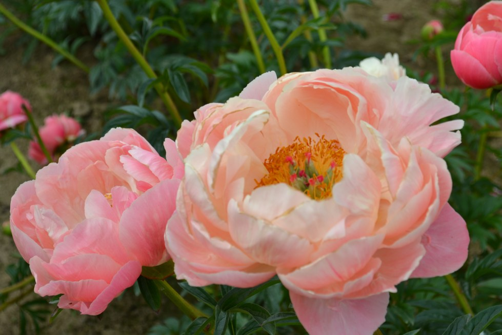 A close up photo of salmon colored peonies growing