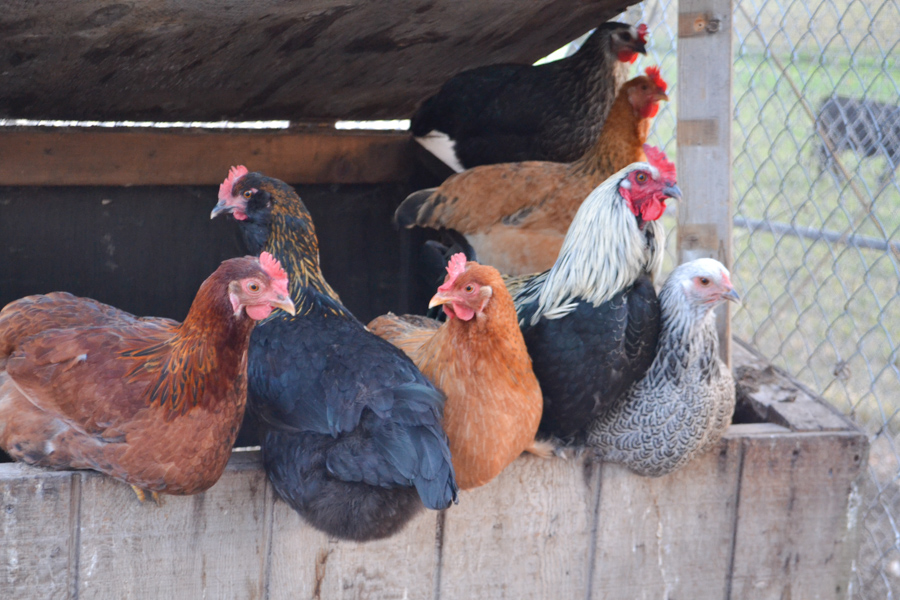 A close up of 6 differently colored hens and a rooster all roosting on top of a hen house