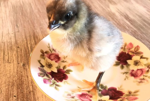 A baby chick standing on a tea cup plate on a white and gray streak table top
