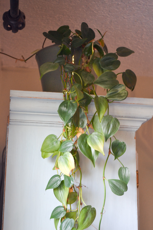 A close up of a long trailing plant on top of a cabinet