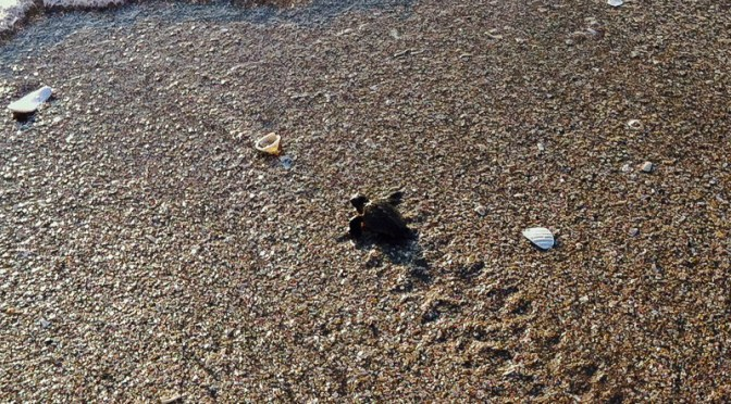 Sea Turtles of Florida