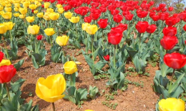 Korea Spring Flower Festivals March–May 2016