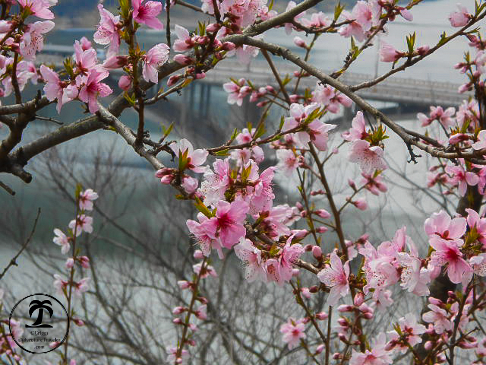 Quick Guide: See The Remarkable Japan Cherry Blossoms - 1AdventureTraveler