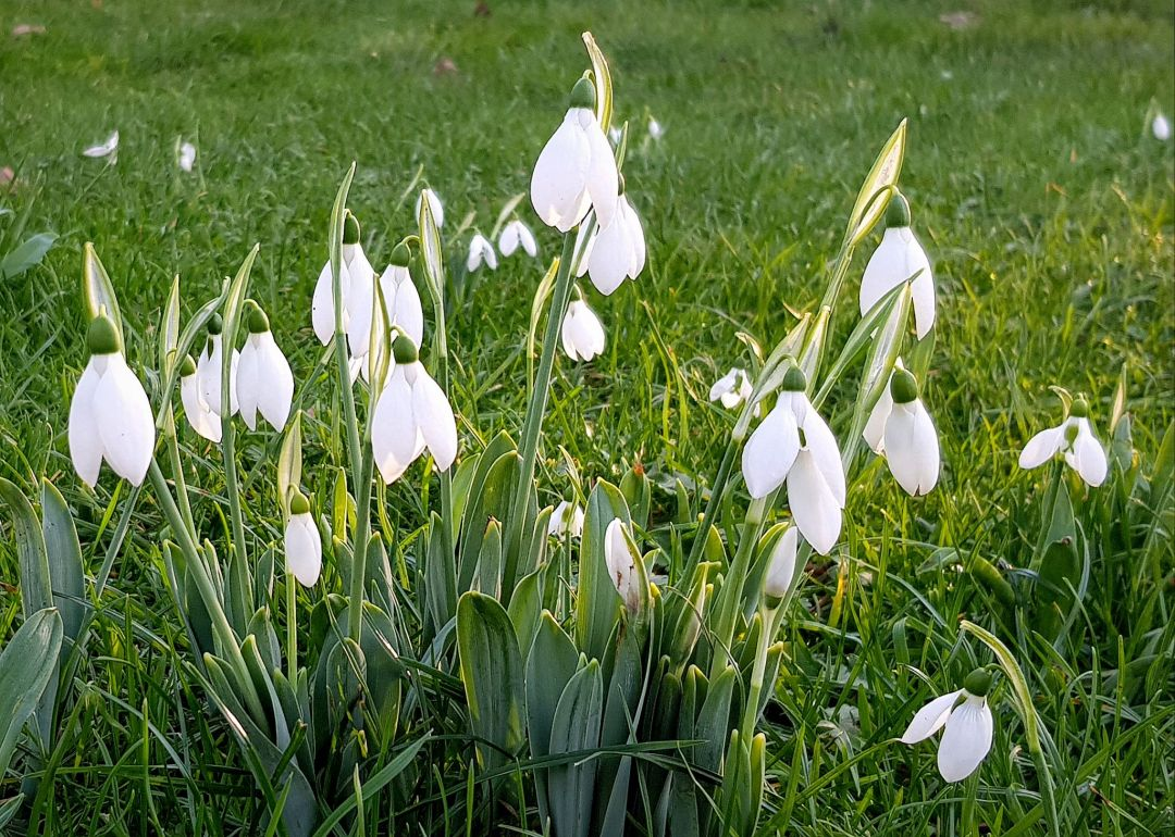 St James's Park - the appearance of snowdrops foretell the onset of spring