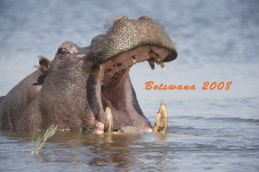 Hippo - Botswana