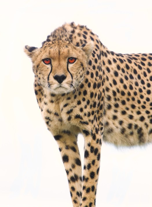 Cheetah mum