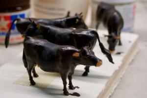 Rinder werden bemalt