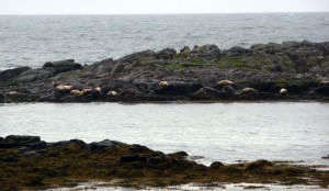 Les phoques à Illugastadir