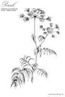 Coloriage de plantes aromatiques, Le Persil a imprimer