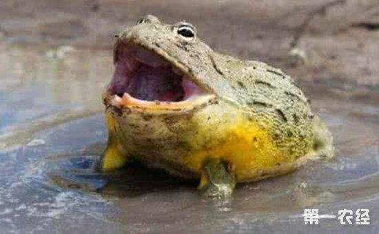 非洲牛蛙當寵物飼養好嗎? - 養殖技術 - 第一農經網