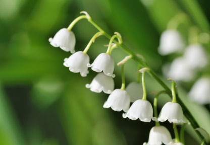 Fall Romance Wallpaper Birth Month Flower Of May The Lily Of The Valley
