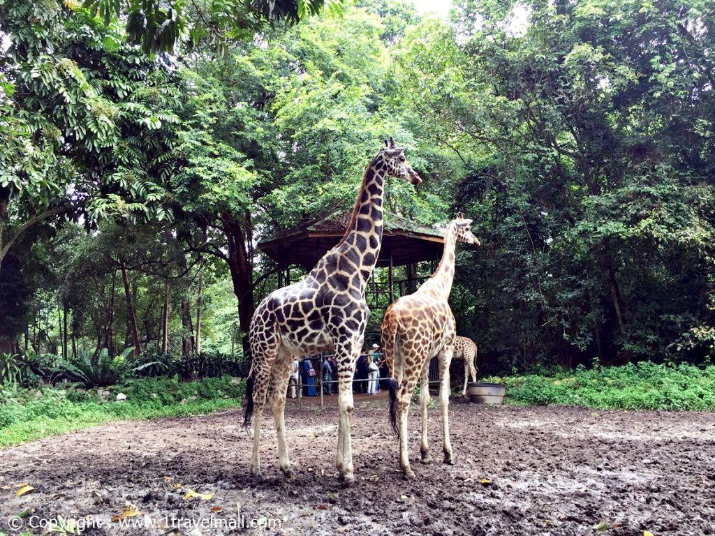 giraffe zoo Malacca