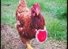 Rêver de poulet