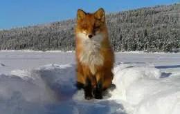 Rêver de renard