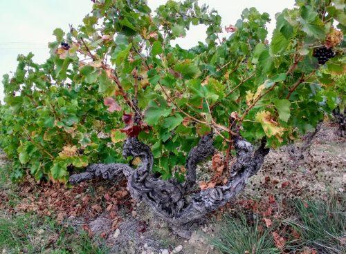 Rasteau old vine 1