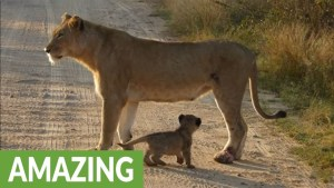 Watch How Motherly Instinct Compels Lioness To Safely Carry Her Cub Across The Road
