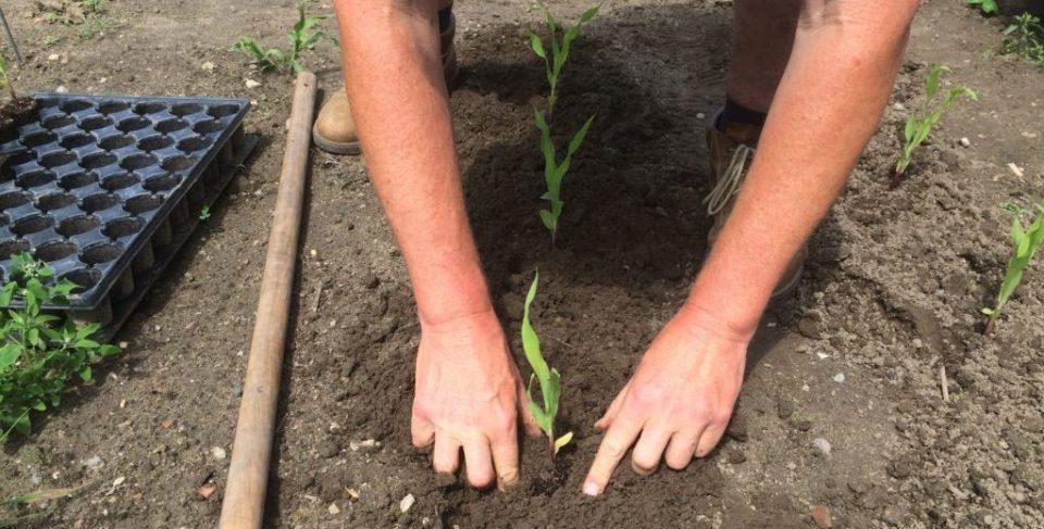 Getreide Mais wird nachgepflanzt