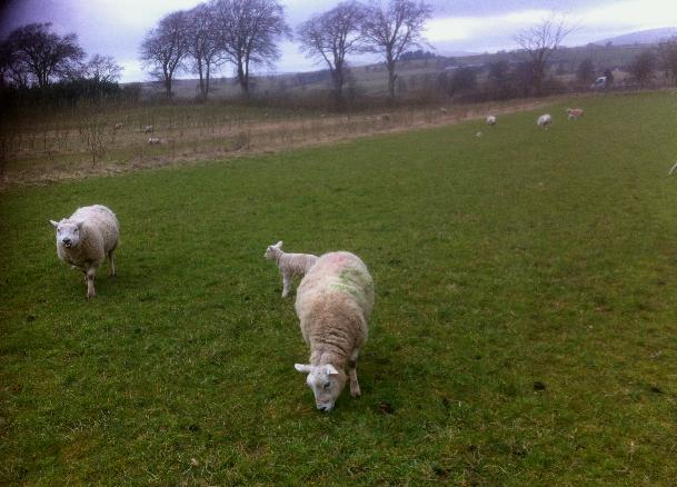 sheep 3.b