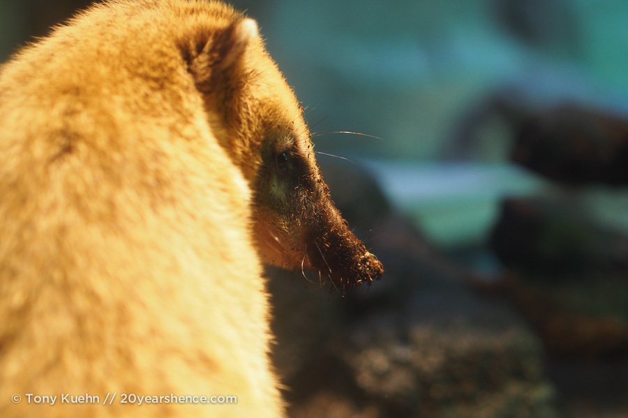 This guy. It's a coati, FYI.