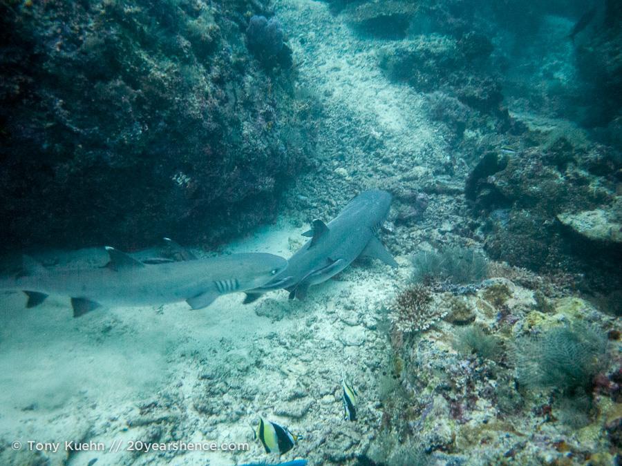 Reef shark seen while diving Sipadan
