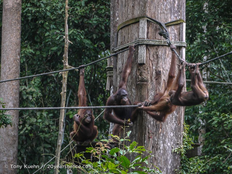 Wild orangutans playing at Sepilok, Sabah Province, Borneo