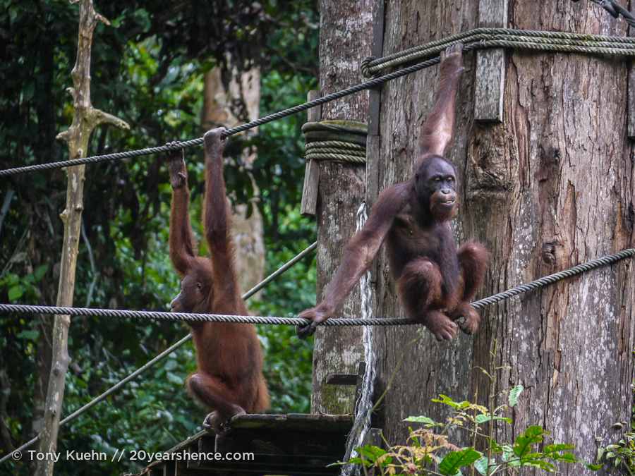 Orangutan sitting & thinking