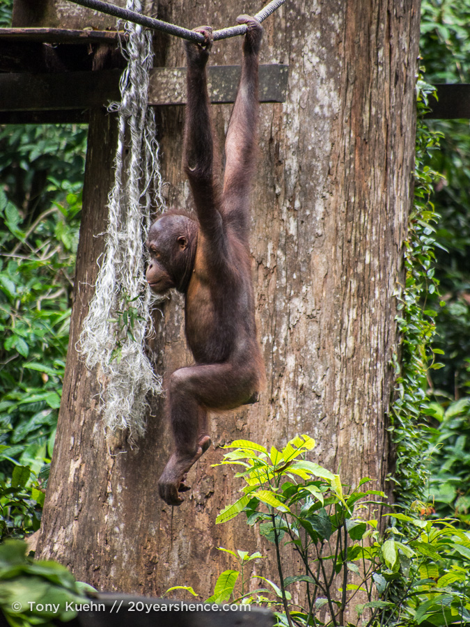Orangutan hanging from rope