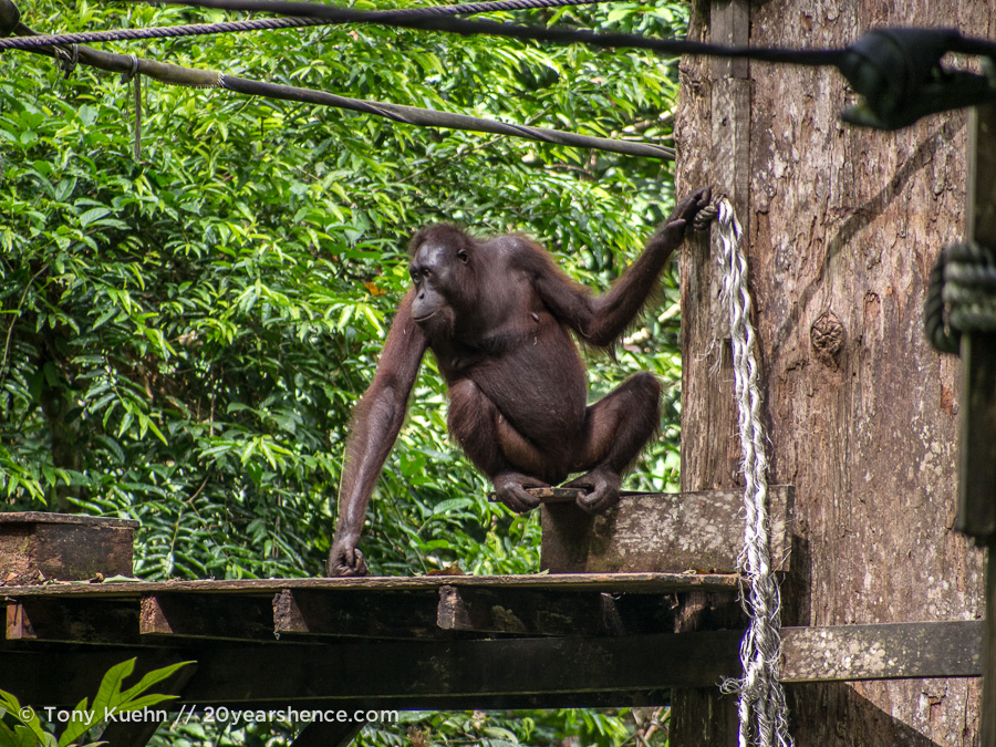 Orangutan on feeding platform