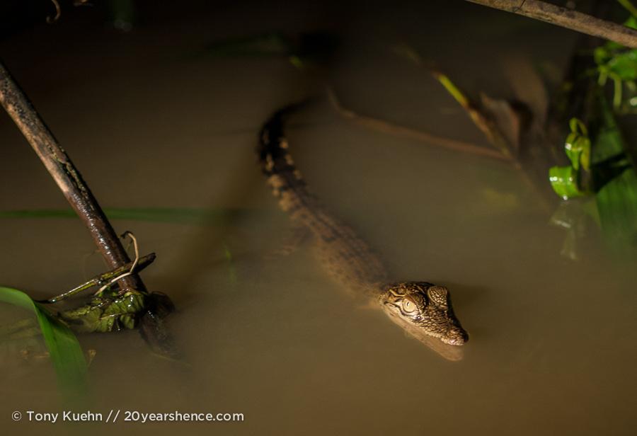 Baby crocodile at night in the Kinabatangan river