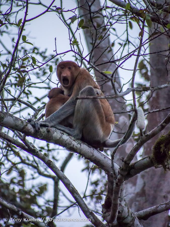 Wild proboscis monkey with baby in Borneo