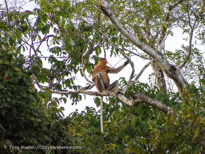Wild Proboscis monkey