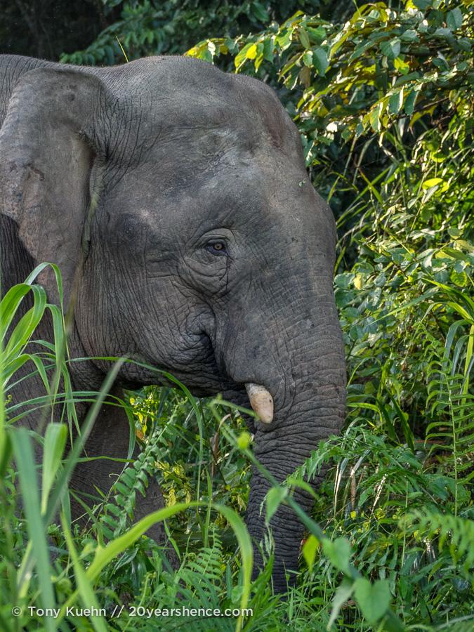wild pygmy elephant Borneo