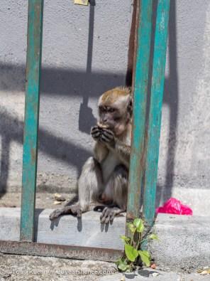 Scavenger Monkey at Batu Caves