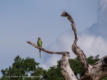 Some sort of wild parakeet