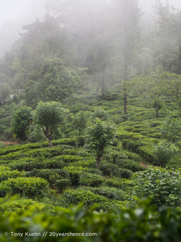 A tea plantation in Ella, Sri Lanka