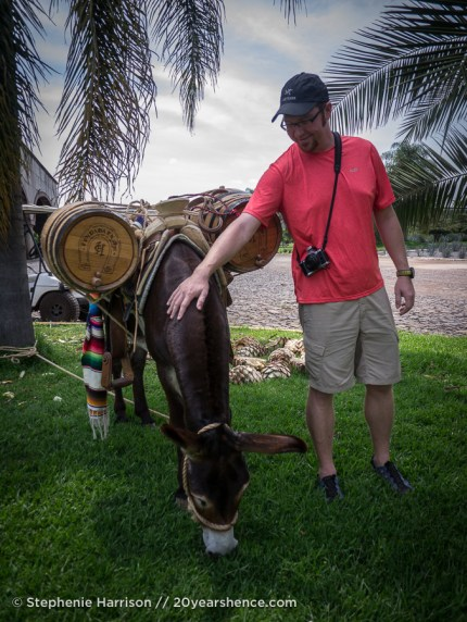 Cuco, Casa Herradura's resident burro mascot